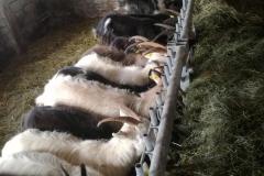 Utfodring av getter