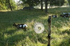 Spindelnät på elstängslet